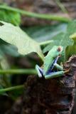 红眼睛的青蛙Agalychnis callidryas 免版税图库摄影