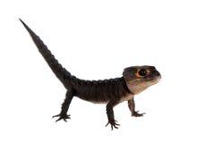 红眼睛的鳄鱼skinks, tribolonotus薄肌,在白色 库存照片
