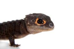 红眼睛的鳄鱼skinks, tribolonotus薄肌,在白色 免版税库存照片