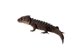 红眼睛的鳄鱼skinks, tribolonotus薄肌,在白色 免版税库存图片