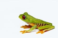 红眼睛的Treefrog 免版税库存图片