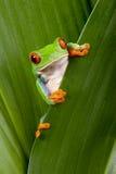 红眼睛雨蛙偷看 免版税库存照片