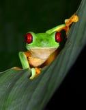 红眼睛雨蛙好奇充满活力在绿色叶子,哥斯达黎加,铈 免版税库存照片