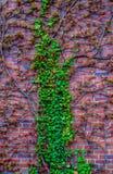 红砖墙壁与一棵卷曲植物的在春天在波兰 免版税库存照片