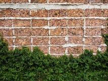 红砖围住紧贴对wal的维可牢尼龙搭扣草大块 免版税库存照片