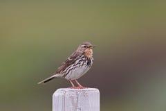 红红喉刺莺的田云雀之类(花cervinus)特写镜头 免版税库存照片