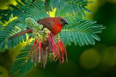 红红喉刺莺的蚂蚁唐纳雀, Habia fuscicauda,红色鸟在自然栖所 唐纳雀坐绿色棕榈树 鸟的监视人的i 免版税库存照片