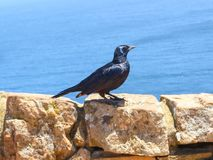 红翼的椋鸟在好望角 库存图片