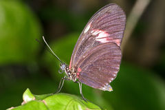 红翼的蝴蝶 图库摄影