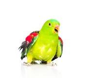 红翼的鹦鹉(Aprosmictus erythropterus)在前面 查出 库存图片