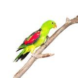 红翼的鹦鹉(Aprosmictus erythropterus)在外形 查出 免版税库存图片