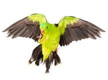 红翼的鹦鹉(Aprosmictus erythropterus) 查出在白色 免版税库存图片
