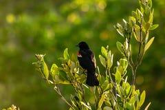 红翼的黑鹂 免版税图库摄影
