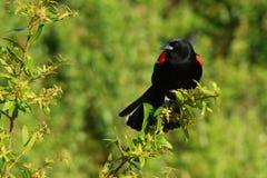 红翼的黑鹂 库存图片