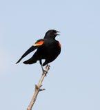 红翼的黑鹂 库存照片