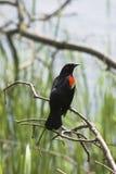 红翼的黑鹂 免版税库存图片