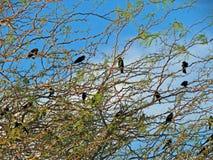 红翼的黑鸟 免版税库存照片