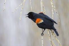 红翼的黑鹂 图库摄影