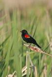 红翼黑鹂的沼泽 库存照片