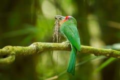 红胡子的食蜂鸟 免版税库存照片