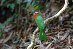 红胡子的食蜂鸟Nyctyornis amictus 免版税库存图片