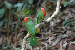 红胡子的食蜂鸟Nyctyornis amictus 库存图片
