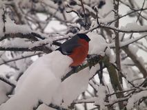 红腹灰雀在冬天 免版税库存图片