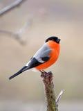 红腹灰雀在冬日 库存照片