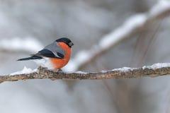 红腹灰雀坐一个冰冷的分支 免版税库存照片