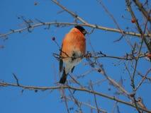 红腹灰雀鸟,雪鸟 库存照片