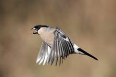 红腹灰雀, Pyrrhula pyrrhula 库存照片