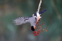红腹灰雀, Pyrrhula pyrrhula 免版税库存照片