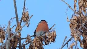 红腹灰雀Pyrrhula坐分支和吃槭树种子的pyrrhula男性 影视素材