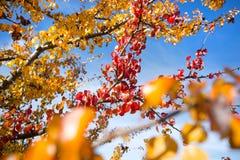 红色一个唯一分支在分支留给仍然垂悬其他黄色叶子 图库摄影