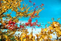 红色一个唯一分支在分支留给仍然垂悬其他黄色叶子 库存照片