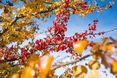 红色一个唯一分支在分支留给仍然垂悬其他黄色叶子 库存图片