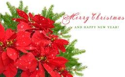 红色一品红和圣诞树分支 库存图片