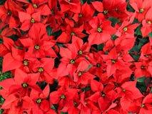 红色一品红圣诞节花背景 库存照片