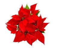 红色一品红圣诞节花被隔绝的白色背景 免版税库存照片