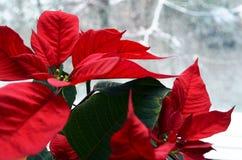 红色一品红大戟属Pulcherrima在多雪的窗口背景开花 库存照片