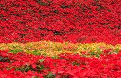 红色一品红庭院 免版税库存照片