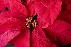 红色一品红特写镜头在花的 图库摄影