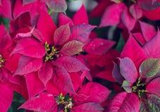 红色一品红花,大戟属Pulcherrima, Nochebuena庭院 库存照片