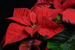 红色一品红花,大戟属Pulcherrima, Nochebuena 免版税库存图片
