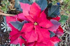 红色一品红花,大戟属Pulcherrima,Nochebuena圣诞节花 雅典,希腊 免版税库存图片