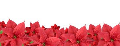 红色一品红,边界 免版税图库摄影