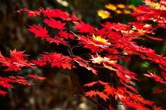 红色七角度槭树叶子 免版税图库摄影