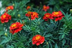 红色万寿菊在庭院里 库存照片