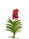 红色万代兰属兰花开花与在白色bac隔绝的绿色叶子 库存图片
