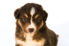 红色三色澳大利亚牧羊人小狗 免版税库存照片